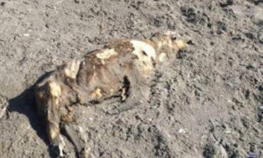 Encuentran lobo marino muerto en la playa San Francisco