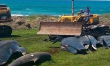 Encuentran 50 ballenas muertas en playa de Islandia