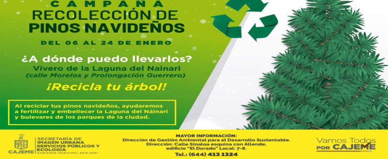 Invita Ecología A Depositar Pinos Navideños En Vivero De La Laguna Del Náinari