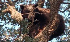 Salvan oso adulto en operativo conjunto en Agua Prieta